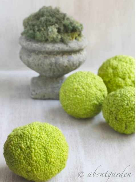 Aboutgarden Natural green ball Maclura pomifera