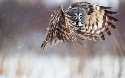 Chouette dans la neige -owl and snow- ListOfImages