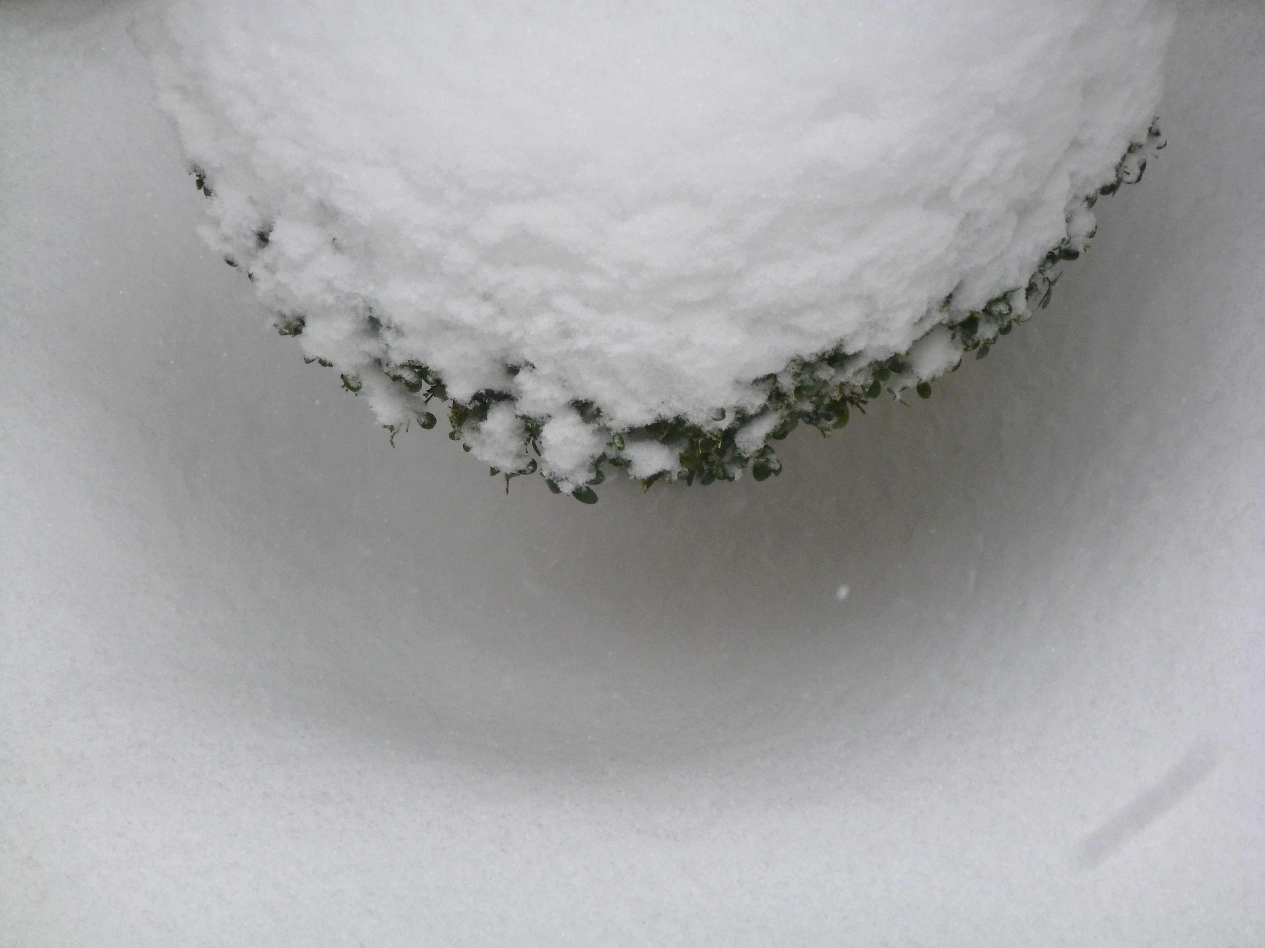 Neige sur buis boule 12-03-2013