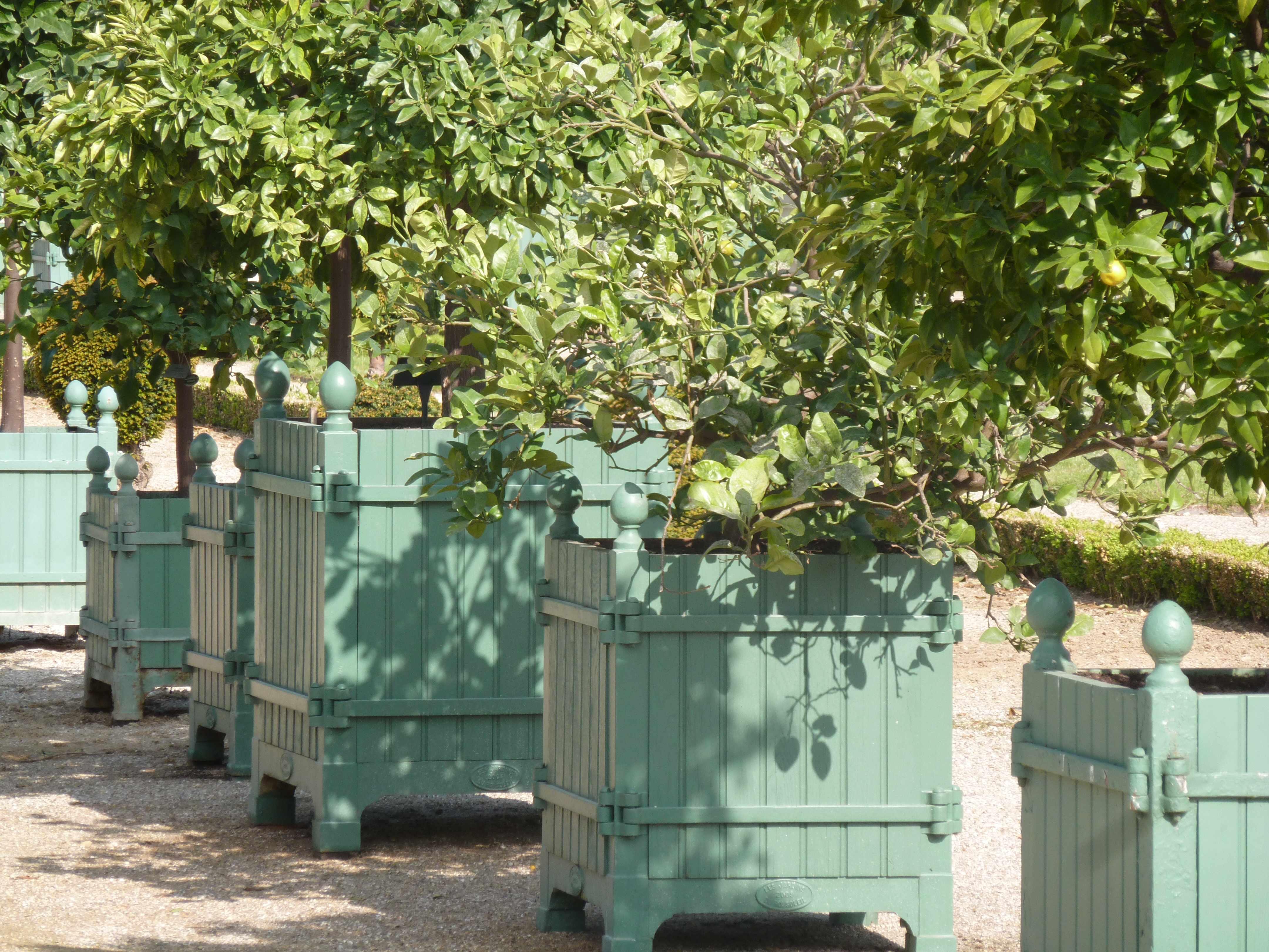 Versailles orangerie caisses citronniers 05-2013