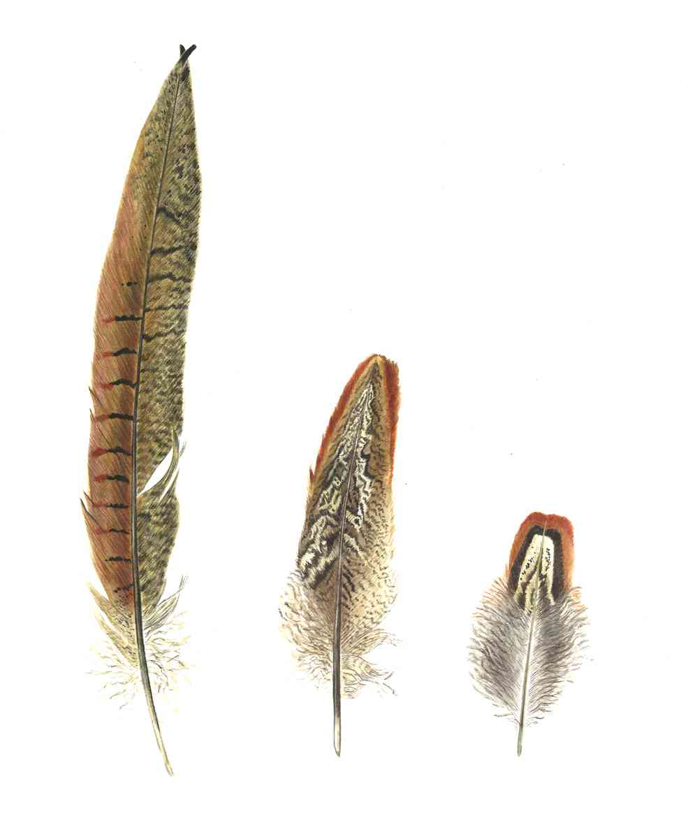 plumes de faisan Ines de Chanterac