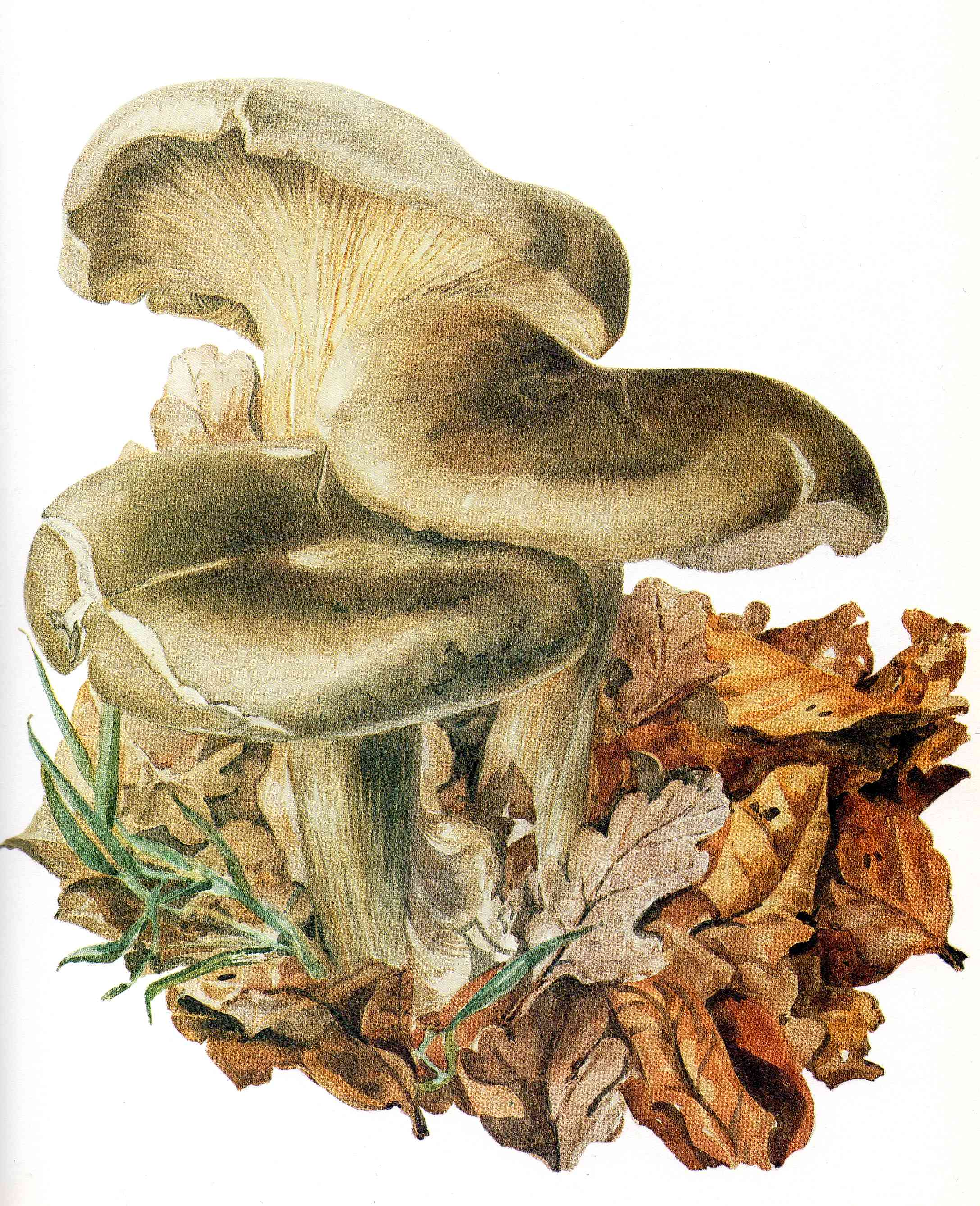 Illustration champignon Beatrix Potter