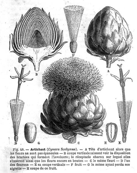 planche botanique artichaut