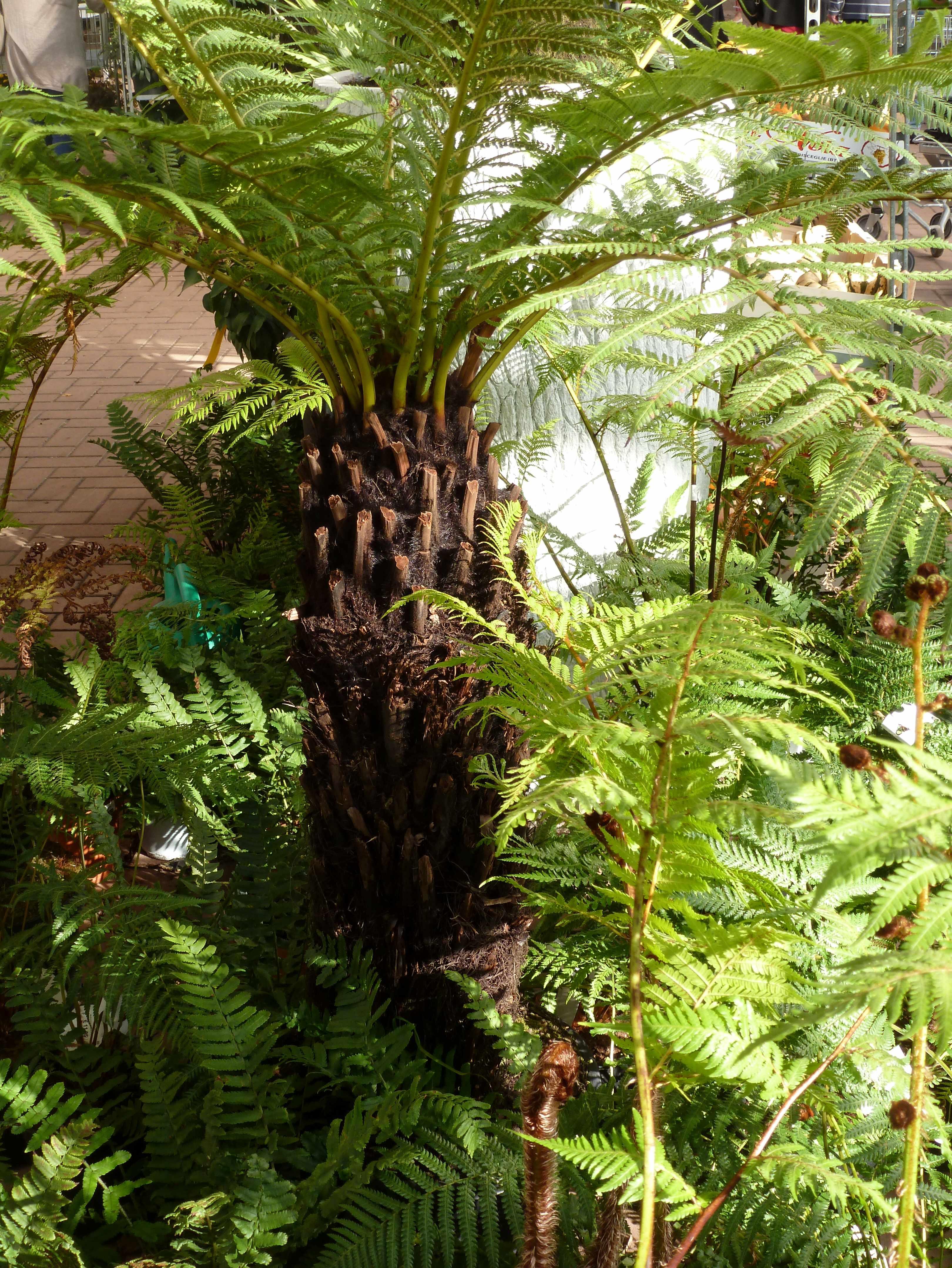 Famiflora Belgique 10-2014 fougeres-palmier