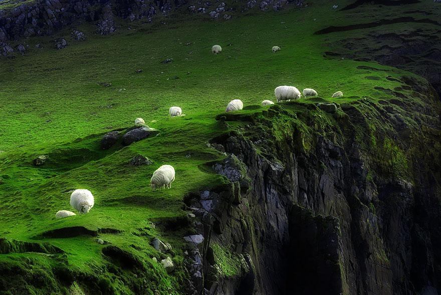 moutons Regina Dispade