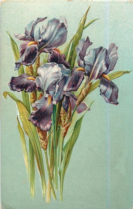 Iris pourpre carte postale 1907