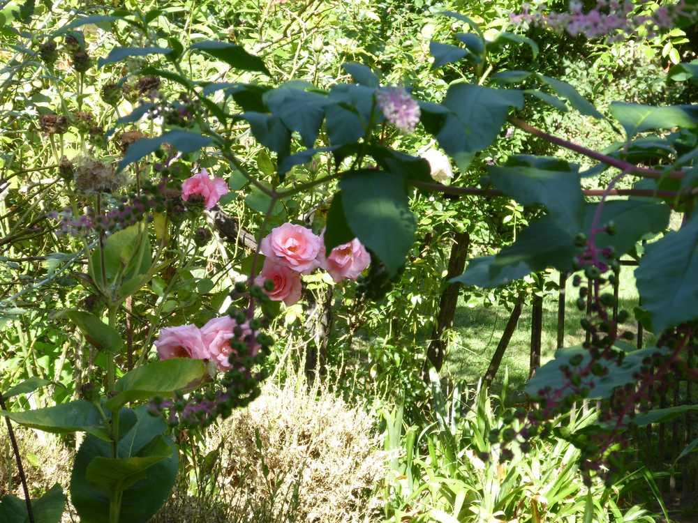 2017-08_Poitou_prieure_Laverre_Aslonnes_jardin_roses_anciennes