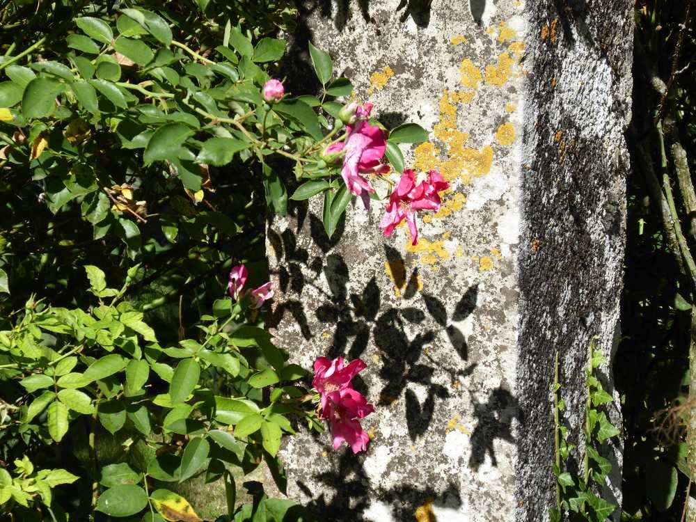 jardin_remarquable-Prieuré_Laverré_Vienne_roses_anciennes